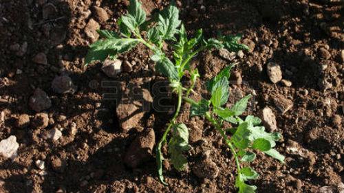 когда садить рассаду помидор в мае