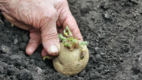 посадка картофеля в мае