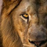 лев характеристика по зодиаку