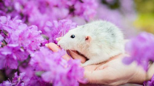 как назвать ребенка в год крысы весной