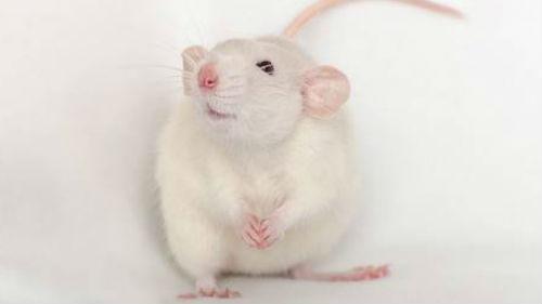 астропрогноз на 2020 год крысы