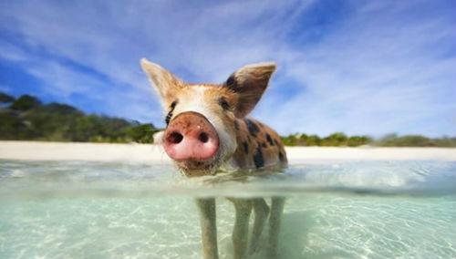 год крысы 2020 для водяной свиньи
