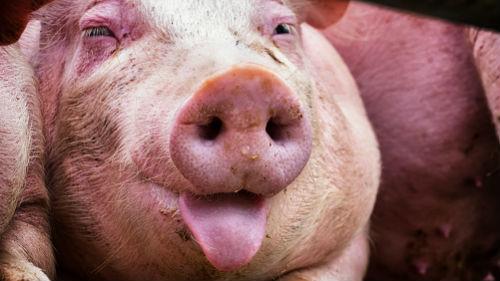 год крысы 2020 для земляной свиньи